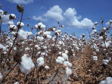 Hiyahiya S History Of Knitting Cotton In Huaricanga